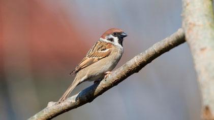 Eurasian Tree Sparrow, Feldsperling, Passer montanus