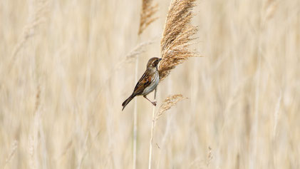 Common Reed Bunting, Rohrammer, Emberiza schoeniclus
