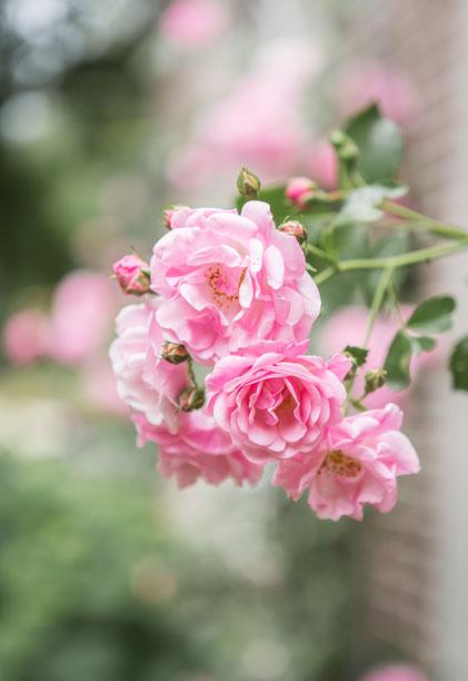De rozen komen mooi naar voren door de wazige achtergrond. De rozen zijn op grote afstand van de achtergrond.