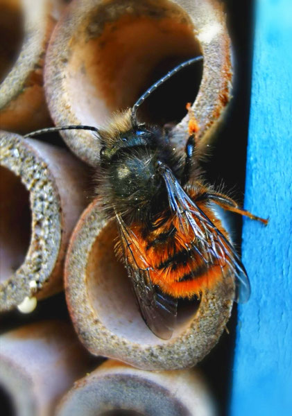 Rote Mauerbiene 2 an Niströhren von Marc Wettering