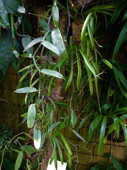 Vanillepflanze