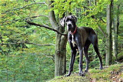 Das ist eine Deutsche Dogge