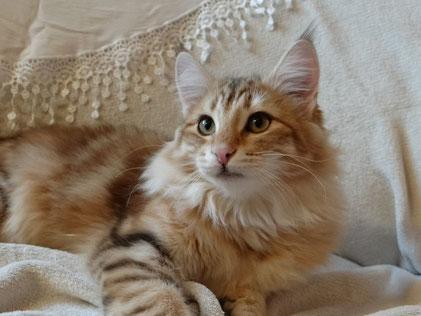 Xenia vom Bergwald, Norwegische Waldkatze, amber-tabby-classic, 1 Jahr alt