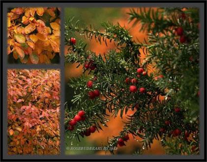 Herbstlaub und Eiben