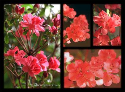 """Rhododendron obtusum """"Juliette"""""""