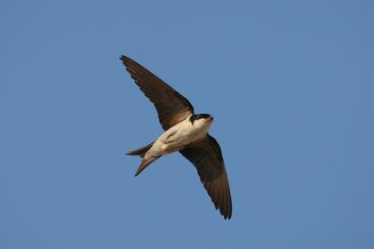 fliegende Mehlschwalbe