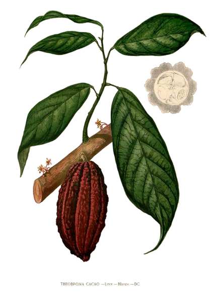 cacao botanical plant drawing cacao mama berlin