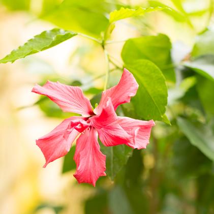 Pinkfarbene Blume Schmetterlingsgarten Kollektion 2017