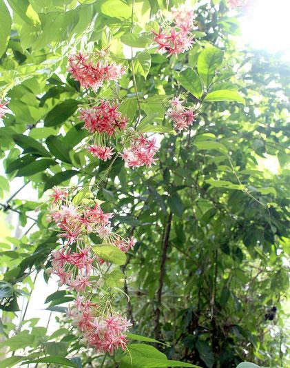 咲き誇るインドシクンシ=18日午後、株式会社川平ファームの農園