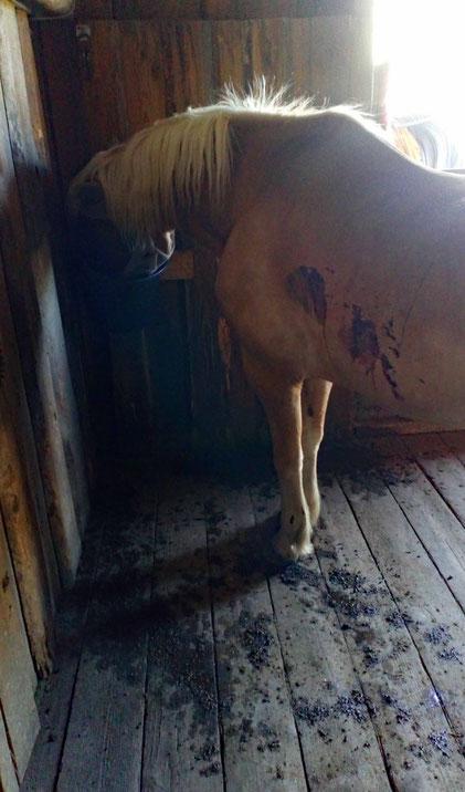 Amor und seine Heucobs - Pferd und Stall gleichen einem Schlachtfeld... :o)