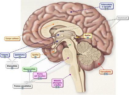 Cliccare per scoprire immagini in 3D dell'encefalo.
