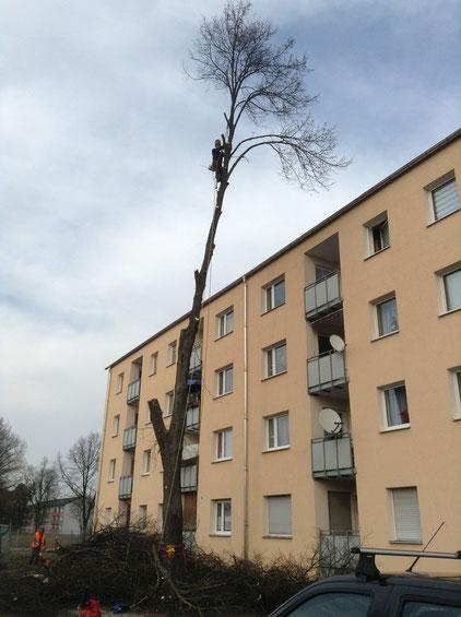Baumfällung im bewohnten Gebiet