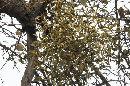 an einem Obstbaum auf einer Streuobstwiese am Rimmelsbacher Hof - die Laubholz-Mistel - Viscum album  (G. Franke)