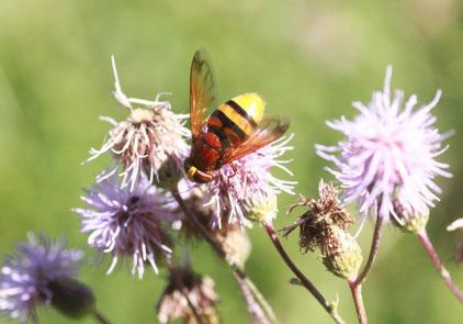 sonniger Waldwegrand am Albtalhang - Hornissen-Schwebfliege auf einer Blüte der Acker-Kratzdistel (G. Franke, 02.08.15)