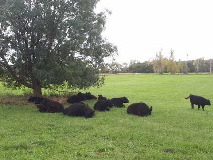 Rinder in den Büttelborner Bruchwiesen auf ihrer neuen Weide