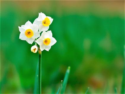 スイセン(ネットのフリー写真から)/但し寄贈球根は他所からもらったものだそうで、品種や色は不明。どんな花かは・・お楽しみに