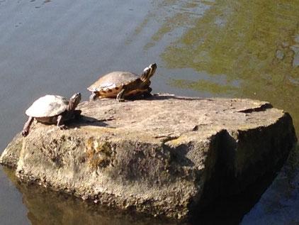 Schildkröten beim Geniesen der Morgensonne