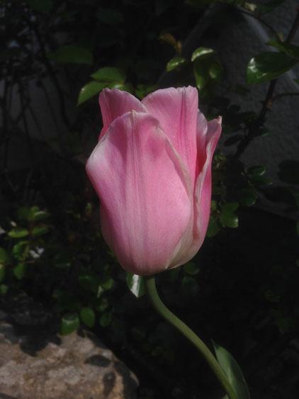 Tulip, Tulpe, tulipano