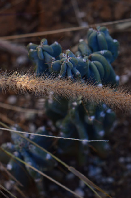 small sunny garden, desert garden, cereus, peruvianus, cactus, amy myers, photography, january