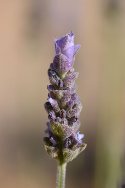 small sunny garden, desert garden, amy myers, photography, lavender, lavandula, dentata,