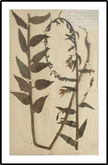 Set of 6 large size French Herbier Folk Art 1890's