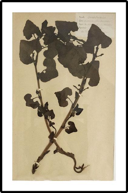 Herbarium, pressed wild flowers botanical, Set of 6 large size French Herbier Folk Art 1890's
