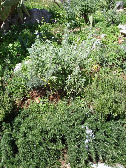 Rosemary (dendrolivano) and sage (faskolilo) in the villas' garden.