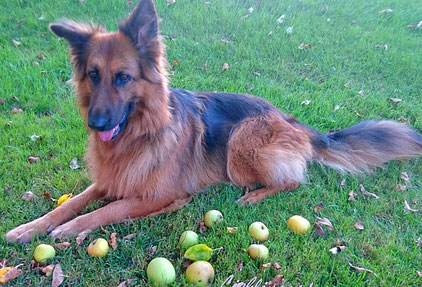 Hund mit Äpfeln