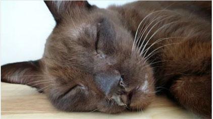 Chat atteint de calicivirose avec un nez qui coule