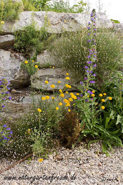 Naturgarten Trockenmauer Natternkopf Echium vulgare Färberkamille Anthemis tinctoria wildlife garden dry wall viper's bugloss dyer's chamomile