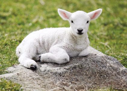 """La couleur blanche représente la sainteté et à la pureté extrême de Jésus-Christ, comparé à un agneau sans tache et sans défaut. 1 Pierre 1 :19 : « vous avez été délivrés par le sang précieux du Christ, sacrifié comme un agneau sans défaut et sans tache""""."""