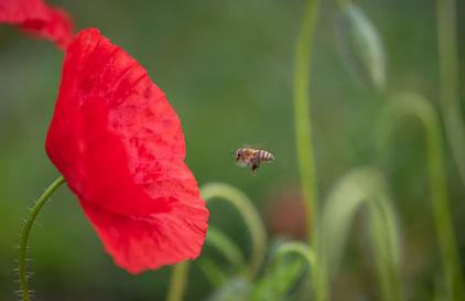 Biene fliegt zur Mohnblume