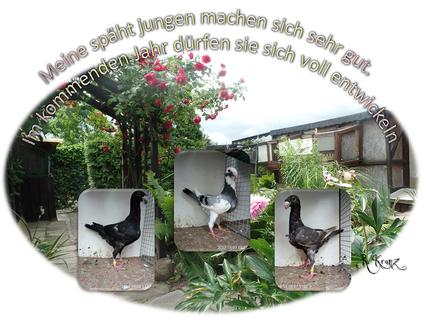 Schwarze Deutsche Schautauben späht junge die sich sehr gut entwickeln. Das sind auch spähter die Besten Zuchttiere. Das ist die Meinung vom Schautauben Züchter Rüdiger Kranz in Osterburg.