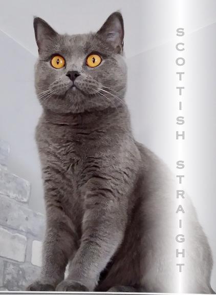 Scottish Straight, Foto: C. Kunze