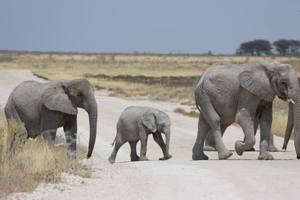 Elefantenfamilie quert eine Wüstenpiste.