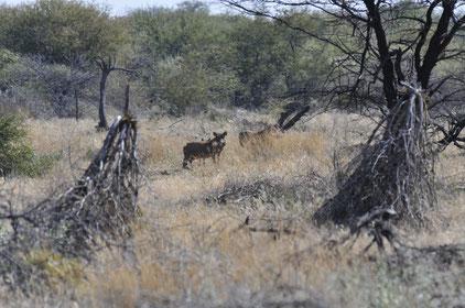 Warzenschwein in Namibia, Fotograf Roland Zobel