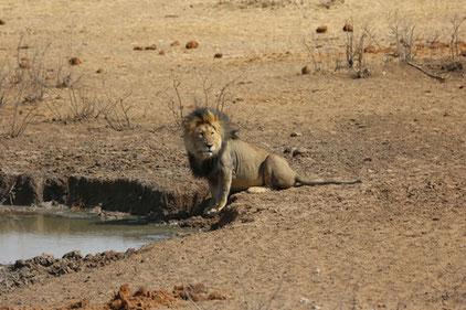 Löwe an einem Wasserloch im Etosha Park, Namibia / DJV