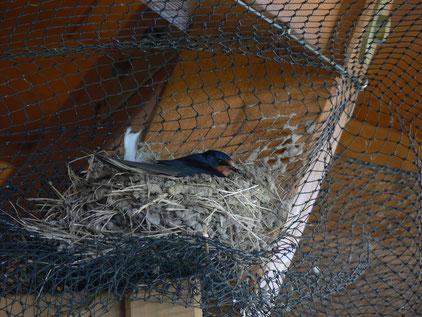 Rauchschwalbe brütet auf Netz (Foto: Markus Janz)