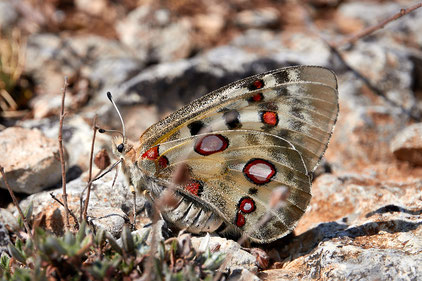 Auch der Libellen-Schmetterlingshaft (Libelloides coccajus) kommt hier vor; Foto: Roberto Cabo