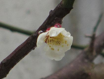 新元号【令和】発表前日の庭の白梅