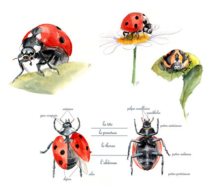 illustration coccinelle aquarelle edition