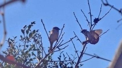 メジロの後に訪れた雀達