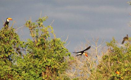 l'arbre aux toucans