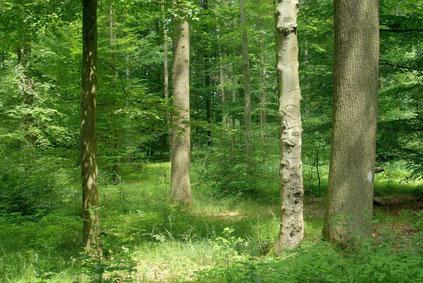 Laubwald mit reichhaltgem Unterbewuchs (Quelle: pixabay, swaskalon)