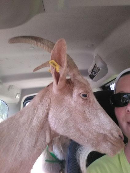 Manon a tout les attributs, mais préfère rentrée en voiture à la chèvrerie.