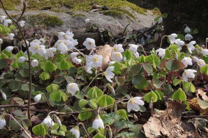 Wald-Sauerklee (Oxalis acetosella) am Wegrand (G. Franke, 10.04.2016)