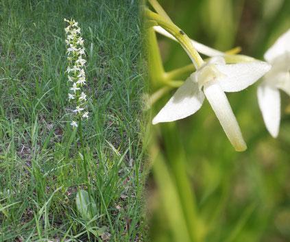 Grünliche Waldhyazinthe - Platanthera chlorantha (G. Franke, 2013)