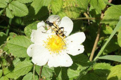 Gefleckter Schmalbock auf eine Ackerrosenblüte  (G. Franke, 26.06.16)
