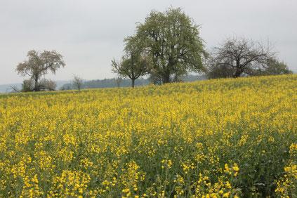 am Rand eines Rapsfeldes bei Pfinzweiler (G. Franke, 01.05.16)