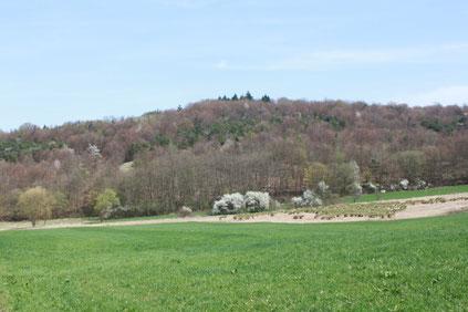 Essigberg, im Vordergrund rechts der Quellsumpf des Kettelsbaches mit den Bulten der Rispen-Segge ( Carex paniculata) (G. Franke, April 2011)